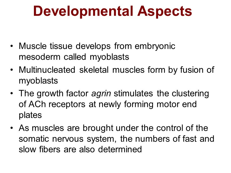 Developmental Aspects Muscle tissue develops from embryonic mesoderm called myoblasts Multinucleated skeletal muscles form by fusion of myoblasts The