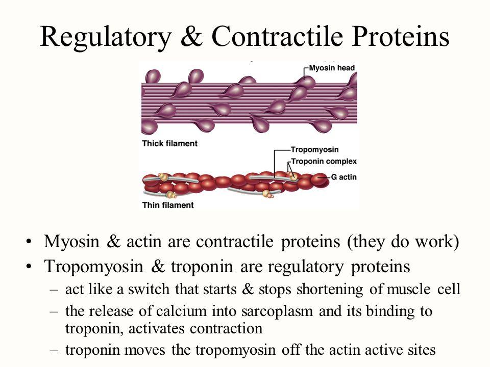Regulatory & Contractile Proteins Myosin & actin are contractile proteins (they do work) Tropomyosin & troponin are regulatory proteins –act like a sw