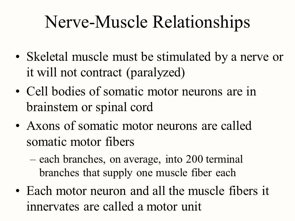 Nerve-Muscle Relationships Skeletal muscle must be stimulated by a nerve or it will not contract (paralyzed) Cell bodies of somatic motor neurons are