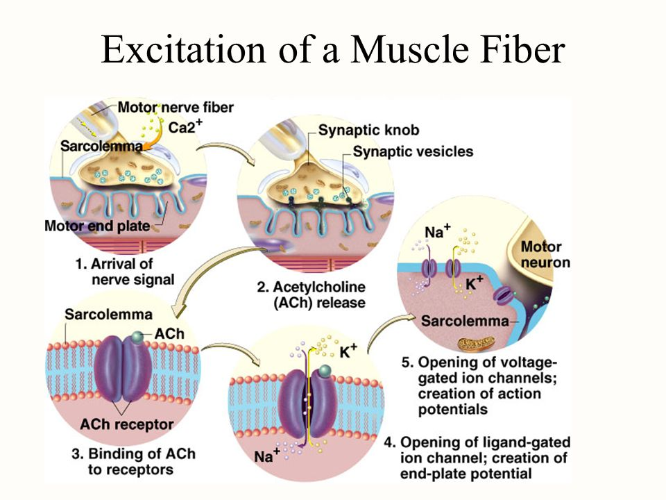 Excitation of a Muscle Fiber