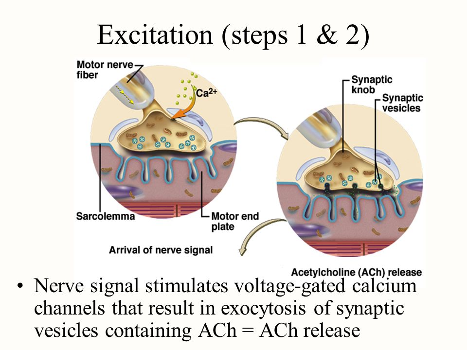 Excitation (steps 1 & 2) Nerve signal stimulates voltage-gated calcium channels that result in exocytosis of synaptic vesicles containing ACh = ACh re
