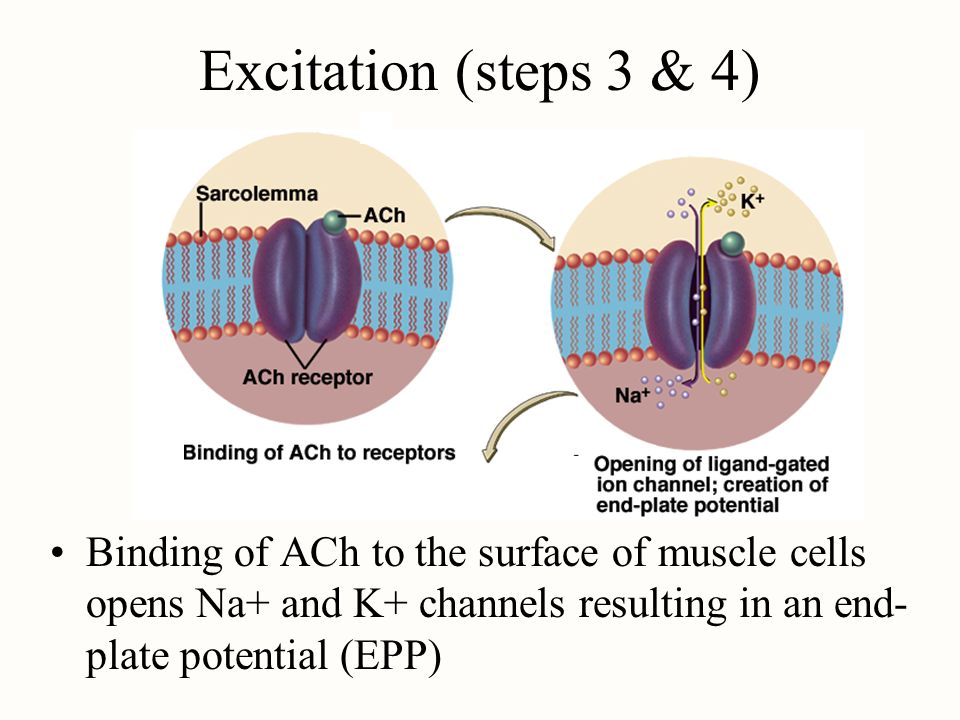Excitation (steps 3 & 4) Binding of ACh to the surface of muscle cells opens Na+ and K+ channels resulting in an end- plate potential (EPP)