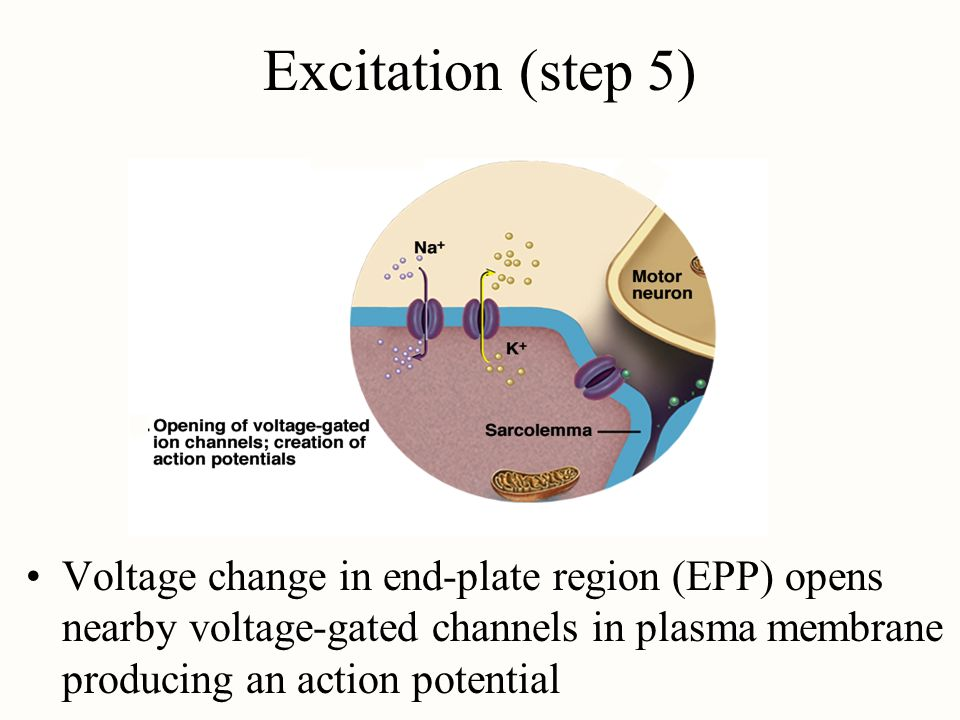 Excitation (step 5) Voltage change in end-plate region (EPP) opens nearby voltage-gated channels in plasma membrane producing an action potential