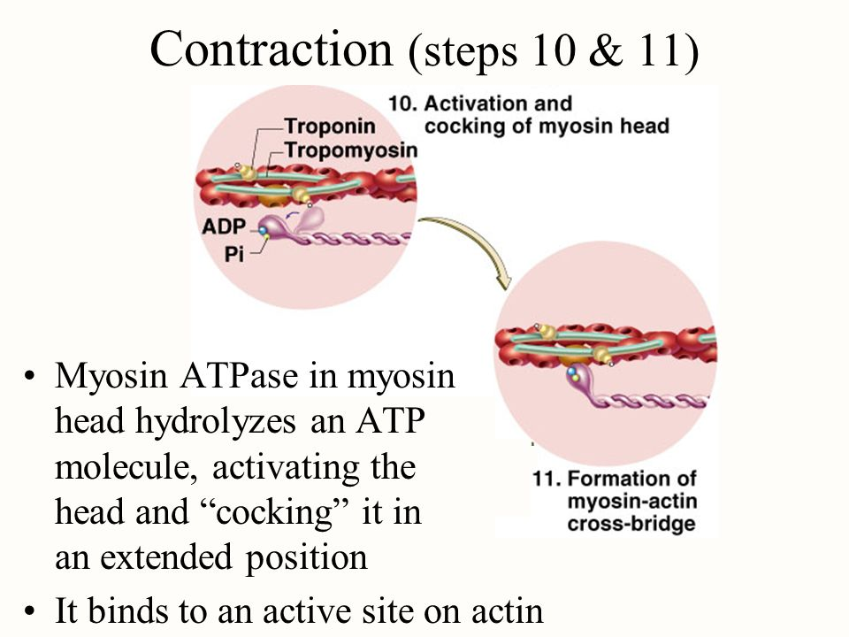 Contraction (steps 10 & 11) Myosin ATPase in myosin head hydrolyzes an ATP molecule, activating the head and cocking it in an extended position It bin