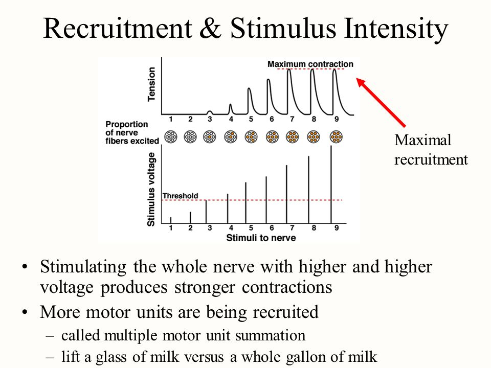 Recruitment & Stimulus Intensity Stimulating the whole nerve with higher and higher voltage produces stronger contractions More motor units are being