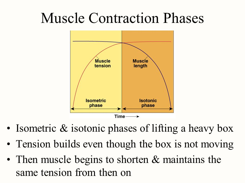 Muscle Contraction Phases Isometric & isotonic phases of lifting a heavy box Tension builds even though the box is not moving Then muscle begins to sh