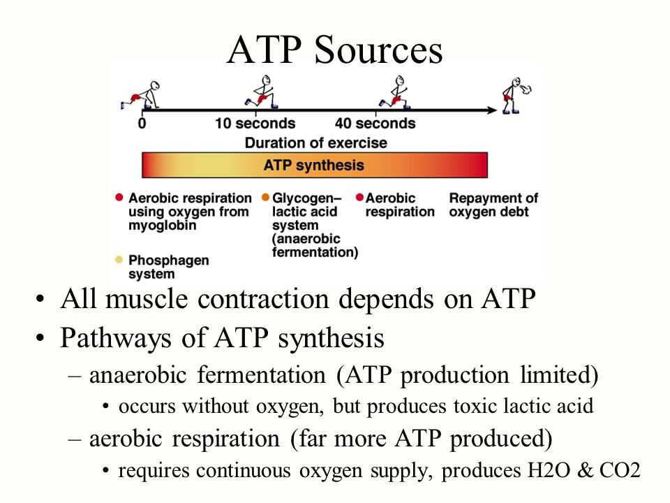 ATP Sources All muscle contraction depends on ATP Pathways of ATP synthesis –anaerobic fermentation (ATP production limited) occurs without oxygen, bu