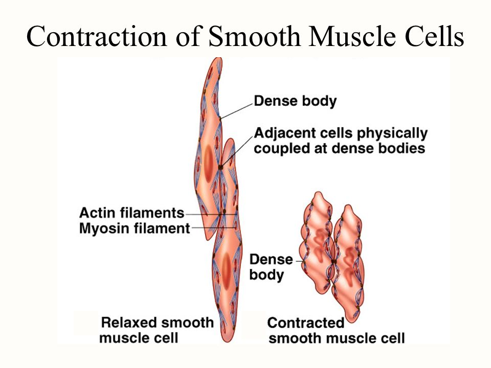 Contraction of Smooth Muscle Cells