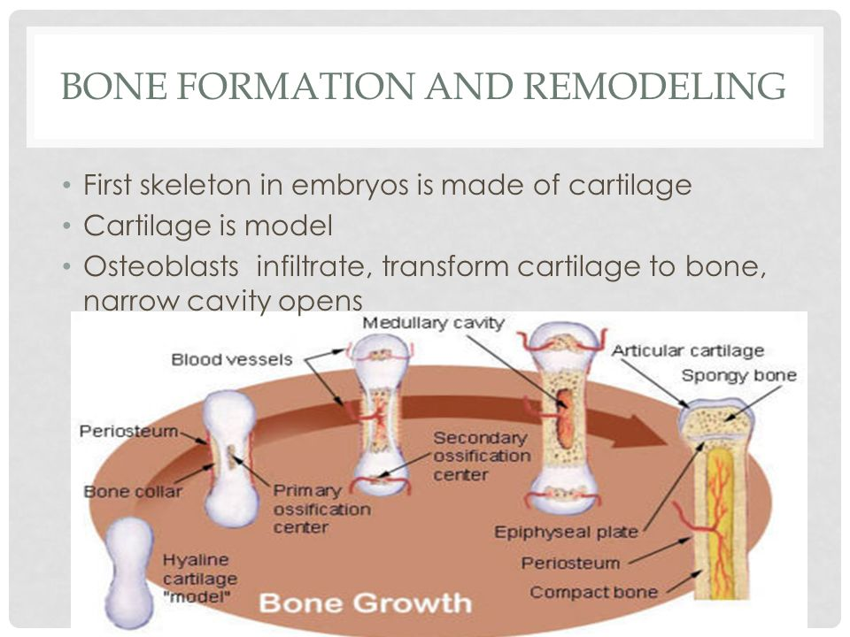BONE FORMATION AND REMODELING First skeleton in embryos is made of cartilage Cartilage is model Osteoblasts infiltrate, transform cartilage to bone, n