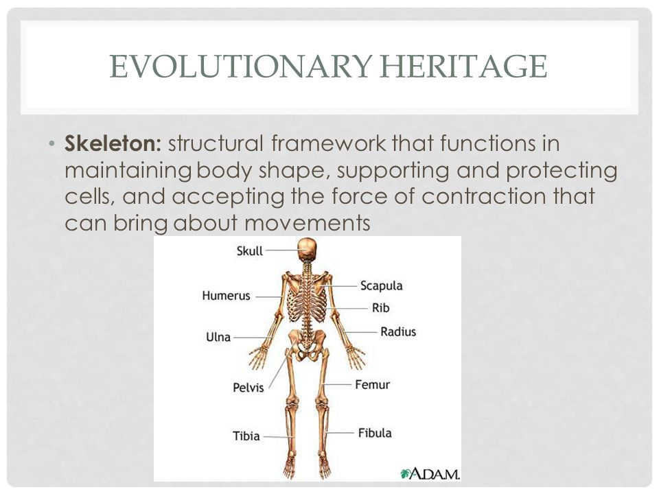 EVOLUTIONARY HERITAGE Skeleton: structural framework that functions in maintaining body shape, supporting and protecting cells, and accepting the forc