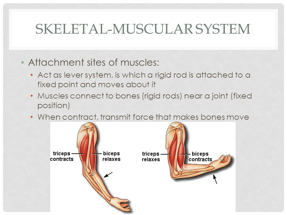 SKELETAL-MUSCULAR SYSTEM Attachment sites of muscles: Act as lever system, is which a rigid rod is attached to a fixed point and moves about it Muscle