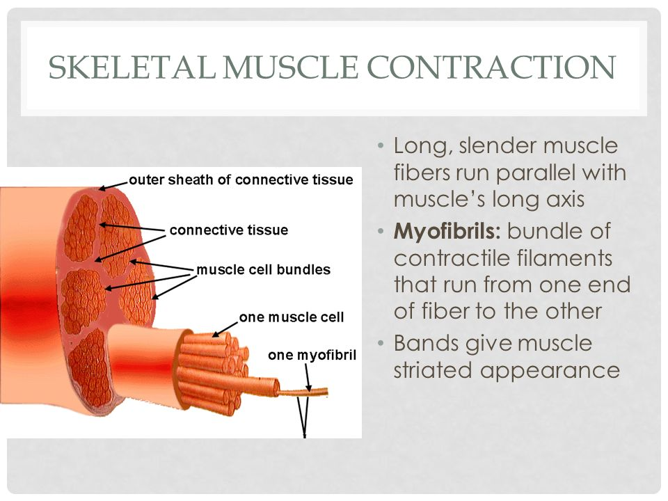 SKELETAL MUSCLE CONTRACTION Long, slender muscle fibers run parallel with muscles long axis Myofibrils: bundle of contractile filaments that run from