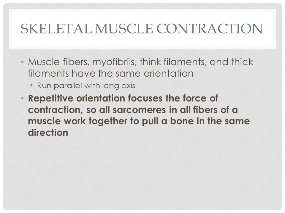 SKELETAL MUSCLE CONTRACTION Muscle fibers, myofibrils, think filaments, and thick filaments have the same orientation Run parallel with long axis Repe