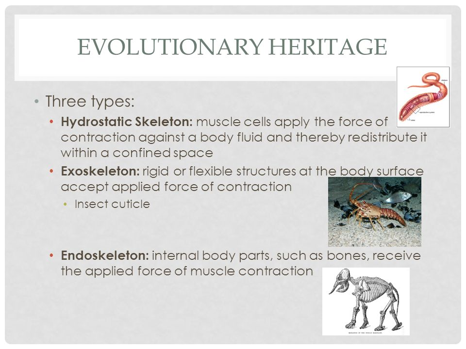 EVOLUTIONARY HERITAGE Three types: Hydrostatic Skeleton: muscle cells apply the force of contraction against a body fluid and thereby redistribute it