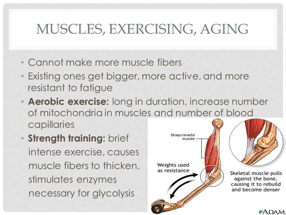 MUSCLES, EXERCISING, AGING Cannot make more muscle fibers Existing ones get bigger, more active, and more resistant to fatigue Aerobic exercise: long