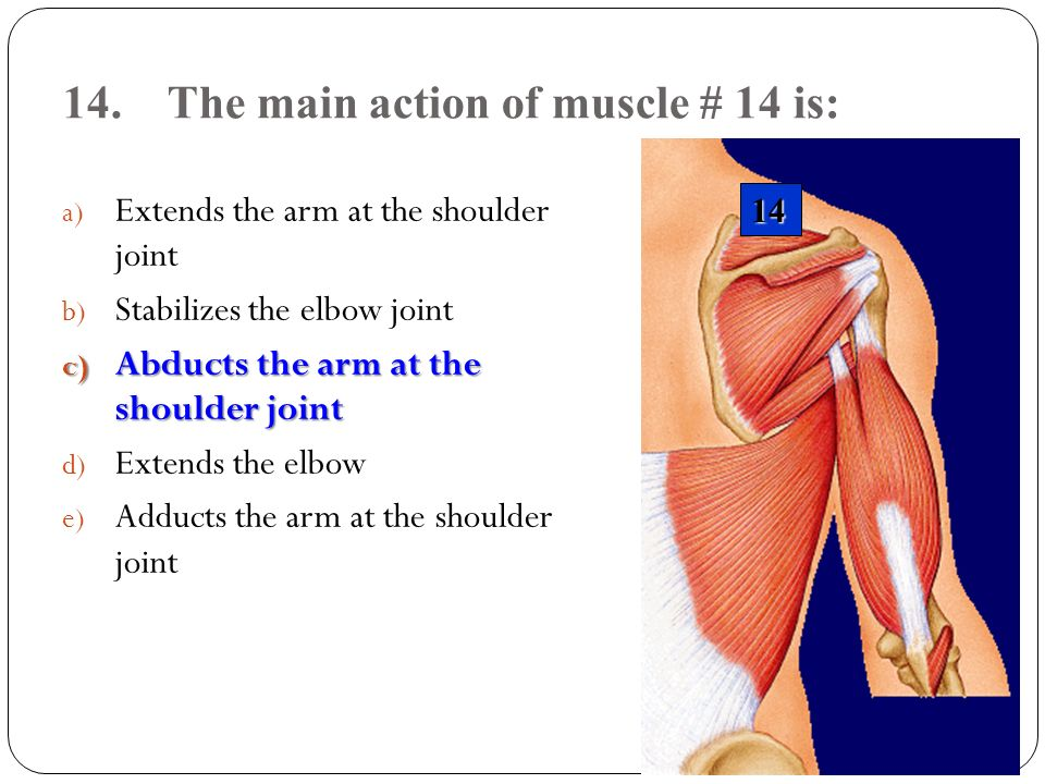 14.The main action of muscle # 14 is: a) Extends the arm at the shoulder joint b) Stabilizes the elbow joint c) Abducts the arm at the shoulder joint