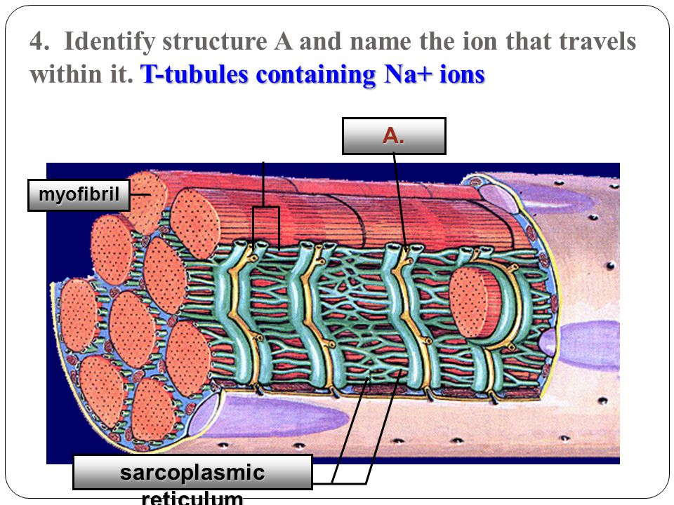 T-tubules containing Na+ ions 4. Identify structure A and name the ion that travels within it. T-tubules containing Na+ ions A. myofibril sarcoplasmic