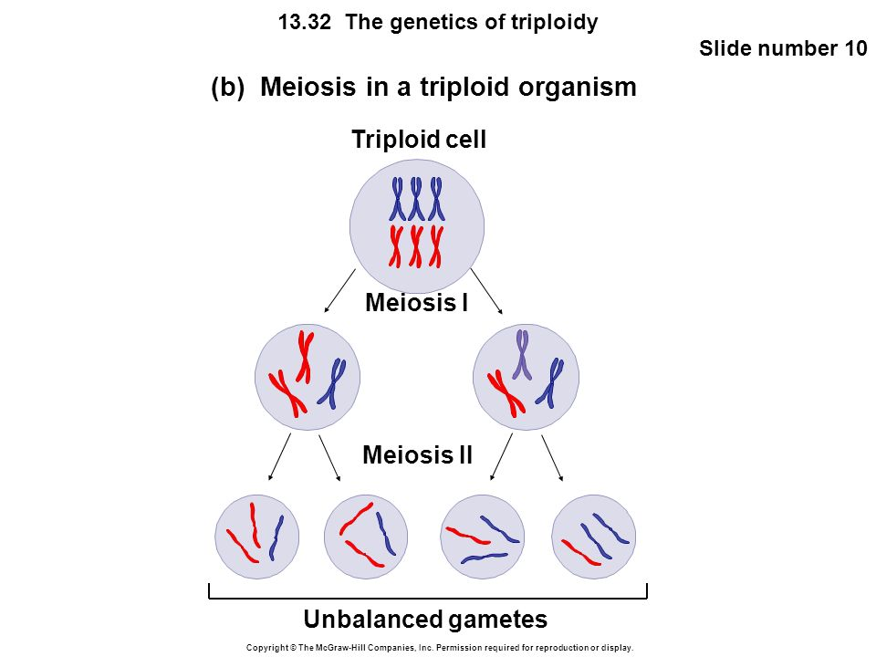 Copyright © The McGraw-Hill Companies, Inc. Permission required for reproduction or display. 13.32 The genetics of triploidy Slide number 10 Meiosis I