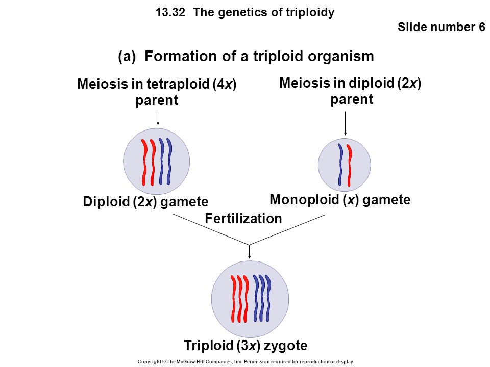 Copyright © The McGraw-Hill Companies, Inc. Permission required for reproduction or display. 13.32 The genetics of triploidy Slide number 6 (a) Format