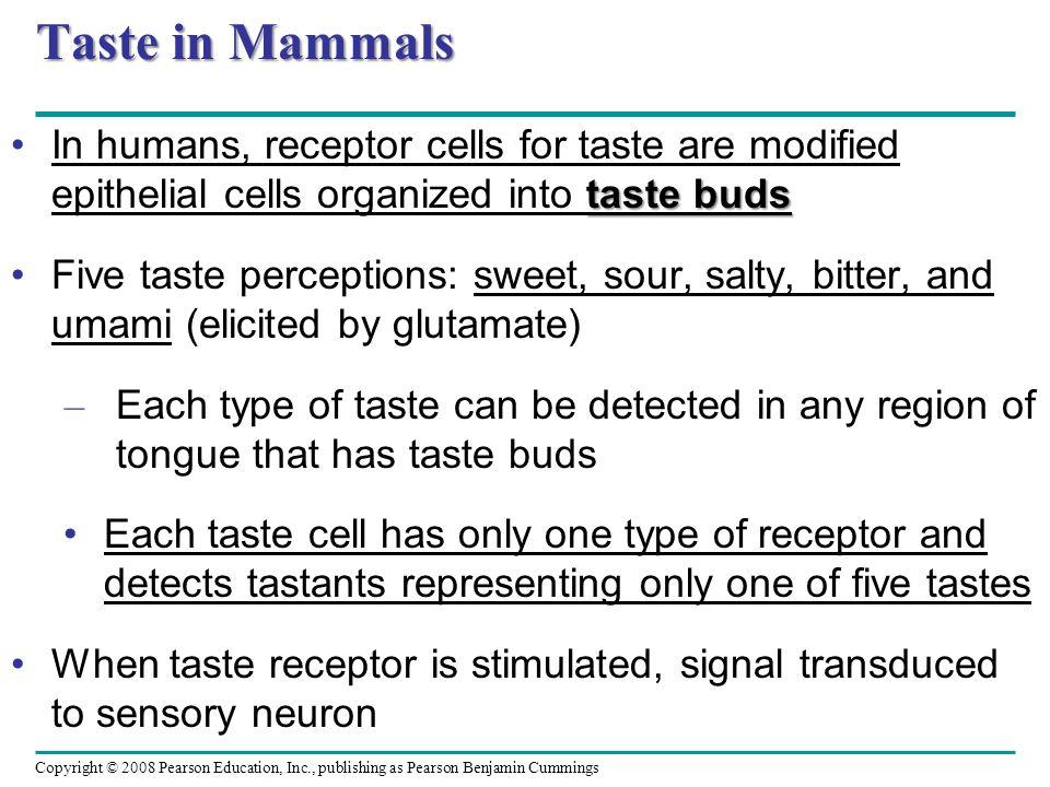 Copyright © 2008 Pearson Education, Inc., publishing as Pearson Benjamin Cummings Taste in Mammals taste budsIn humans, receptor cells for taste are m