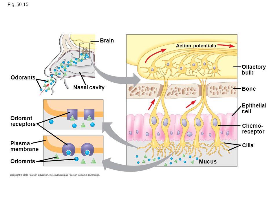 Fig. 50-15 Olfactory bulb Odorants Bone Epithelial cell Plasma membrane Odorant receptors Odorants Nasal cavity Brain Chemo- receptor Cilia Mucus Acti