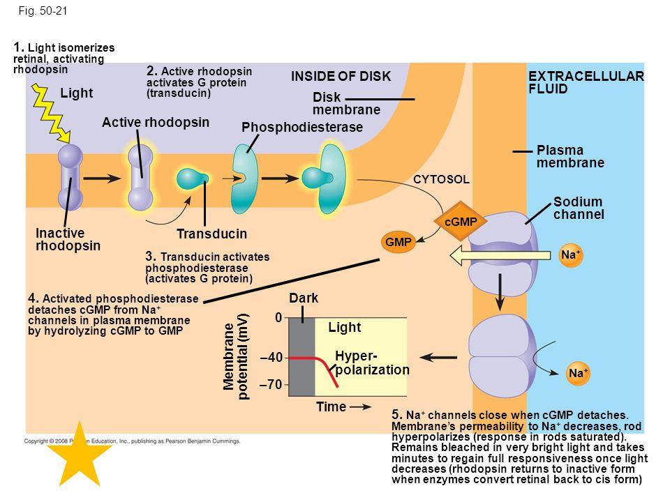 Fig. 50-21 Light Sodium channel Inactive rhodopsin Active rhodopsin Phosphodiesterase Disk membrane INSIDE OF DISK Plasma membrane EXTRACELLULAR FLUID