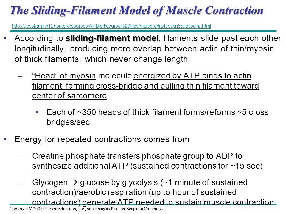 Copyright © 2008 Pearson Education, Inc., publishing as Pearson Benjamin Cummings The Sliding-Filament Model of Muscle Contraction sliding-filament mo