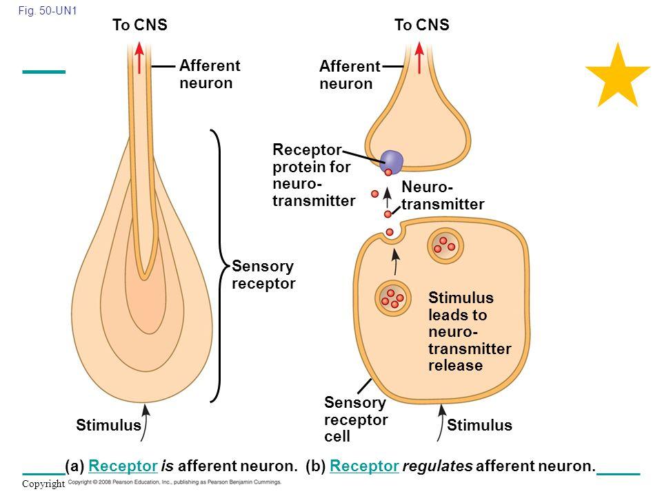 Copyright © 2008 Pearson Education, Inc., publishing as Pearson Benjamin Cummings Fig. 50-UN1 Stimulus Sensory receptor Stimulus Afferent neuron Senso