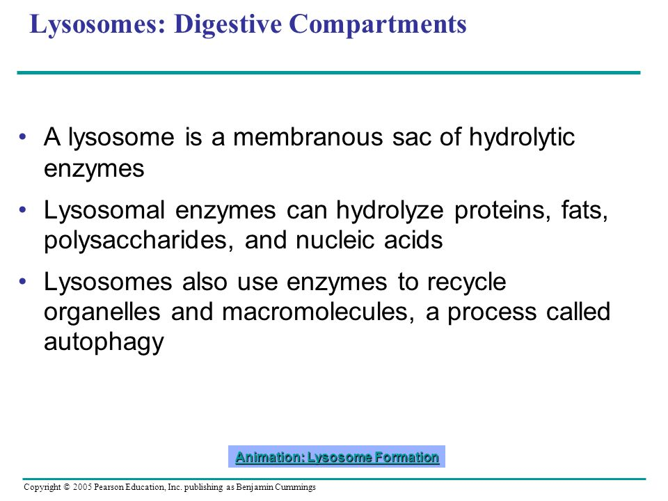 Copyright © 2005 Pearson Education, Inc. publishing as Benjamin Cummings Lysosomes: Digestive Compartments A lysosome is a membranous sac of hydrolyti