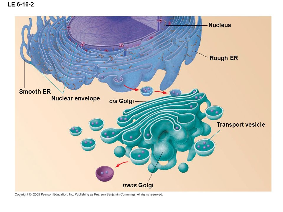 LE 6-16-2 Nuclear envelope Nucleus Rough ER Smooth ER Transport vesicle cis Golgi trans Golgi