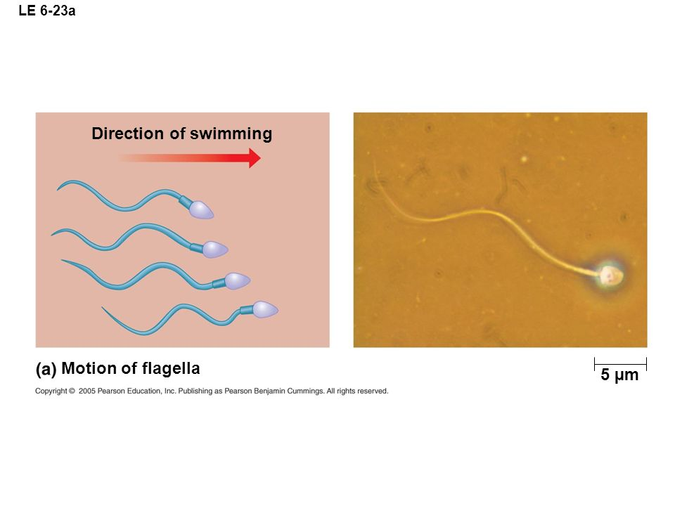 LE 6-23a 5 µm Direction of swimming Motion of flagella