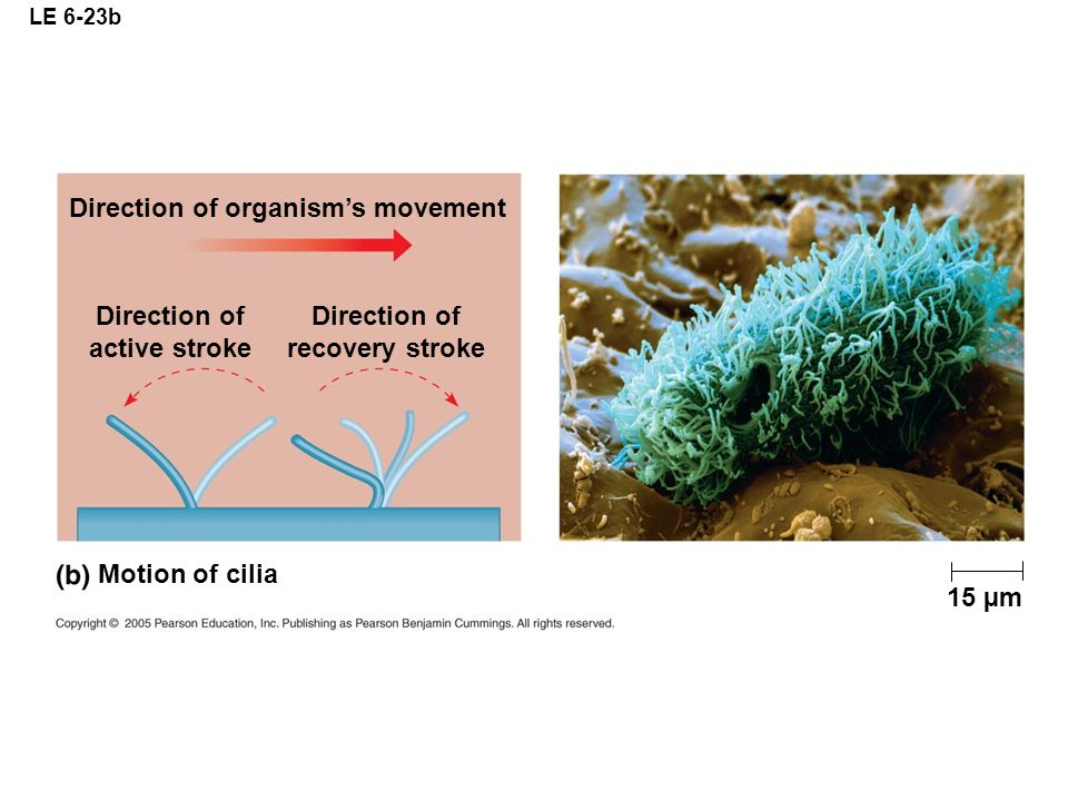 LE 6-23b 15 µm Direction of organisms movement Motion of cilia Direction of active stroke Direction of recovery stroke
