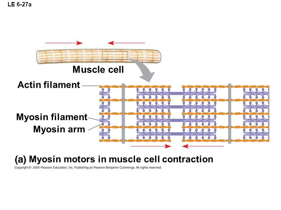 LE 6-27a Muscle cell Actin filament Myosin filament Myosin arm Myosin motors in muscle cell contraction
