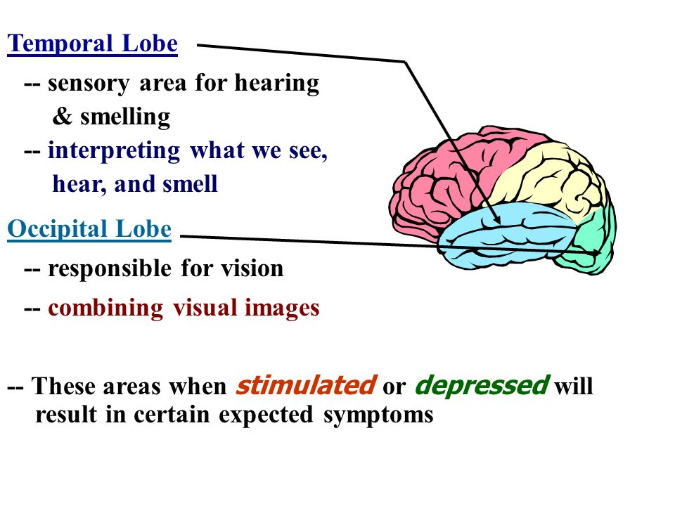 -- sensory area for hearing & smelling Temporal Lobe -- interpreting what we see, hear, and smell Occipital Lobe -- responsible for vision -- combinin
