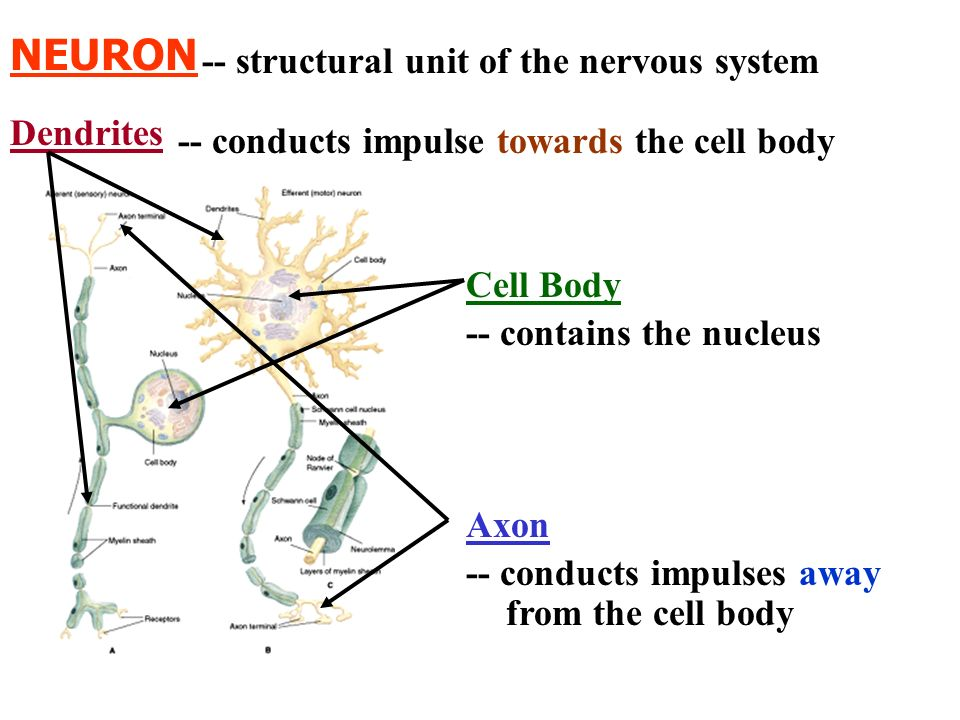 NEURON -- structural unit of the nervous system -- conducts impulse towards the cell body -- contains the nucleus -- conducts impulses away from the c