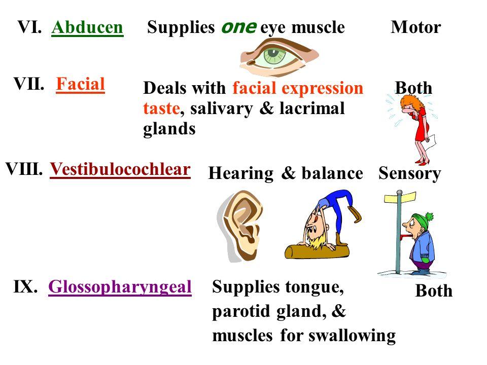 BothDeals with facial expression taste, salivary & lacrimal glands VII. Facial VI. AbducenMotor Supplies one eye muscle VIII. Vestibulocochlear Sensor