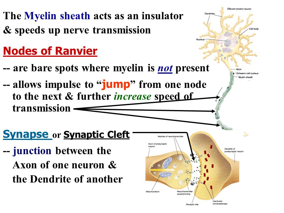 Nodes of Ranvier Synapse or Synaptic Cleft -- junction between the Axon of one neuron & the Dendrite of another -- are bare spots where myelin is not