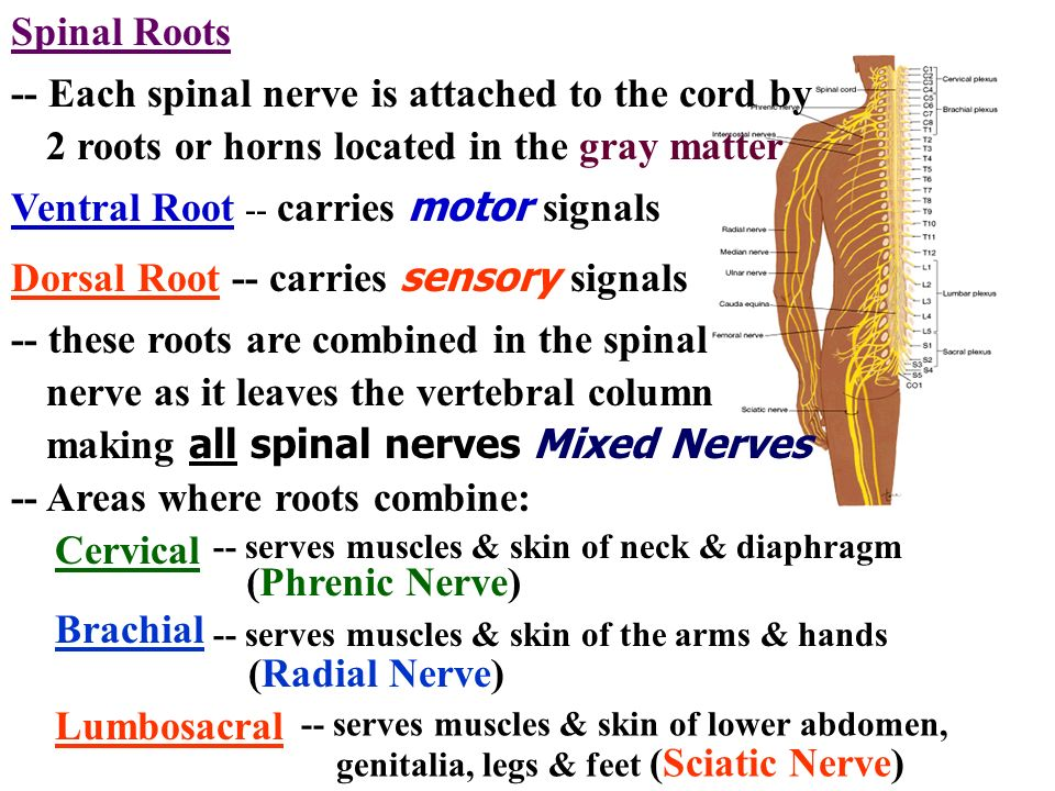 Spinal Roots -- Each spinal nerve is attached to the cord by 2 roots or horns located in the gray matter Ventral Root -- carries motor signals Dorsal
