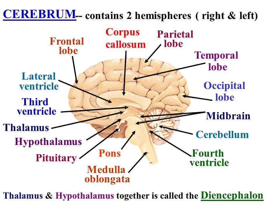 CEREBRUM -- contains 2 hemispheres ( right & left) Frontal lobe Thalamus HypothalamusPituitary Corpus callosum Parietal lobe Temporal lobe Occipital l