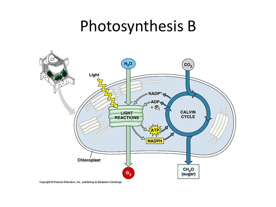 Photosynthesis B
