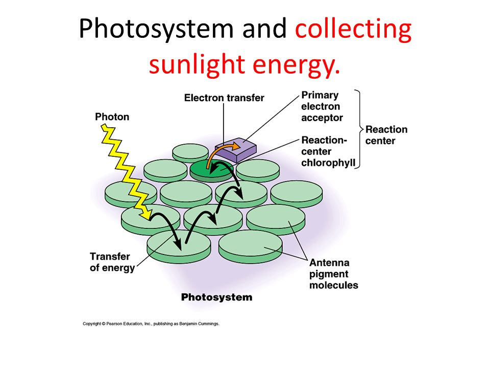 Photosystem and collecting sunlight energy.
