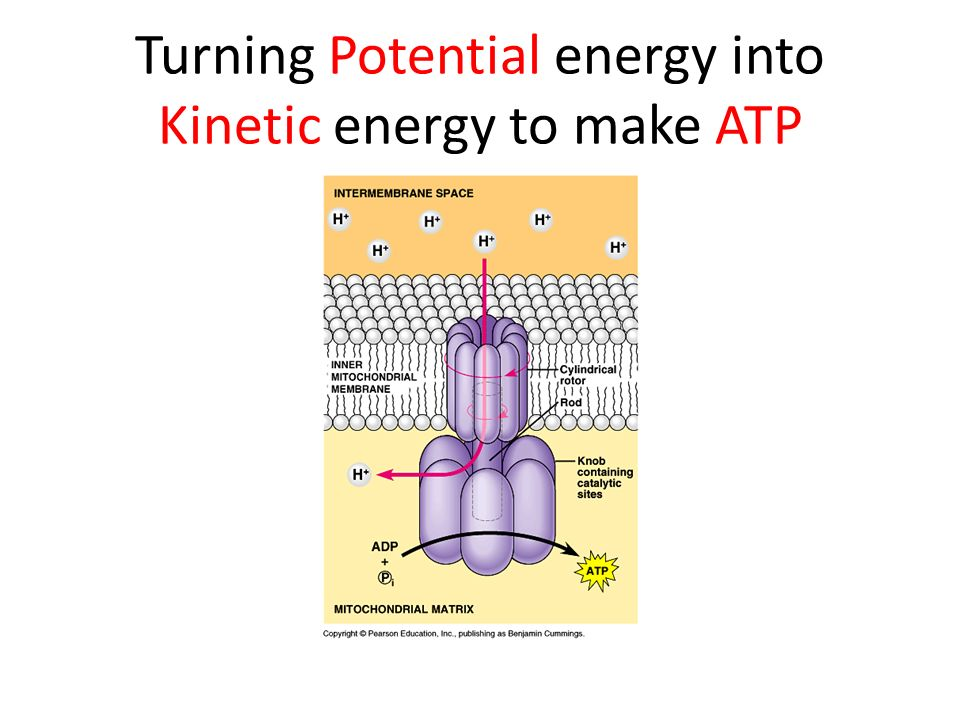 Turning Potential energy into Kinetic energy to make ATP