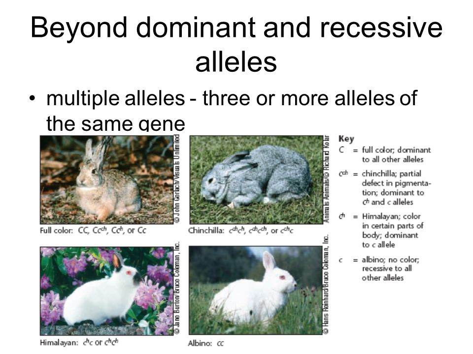 Beyond dominant and recessive alleles multiple alleles - three or more alleles of the same gene