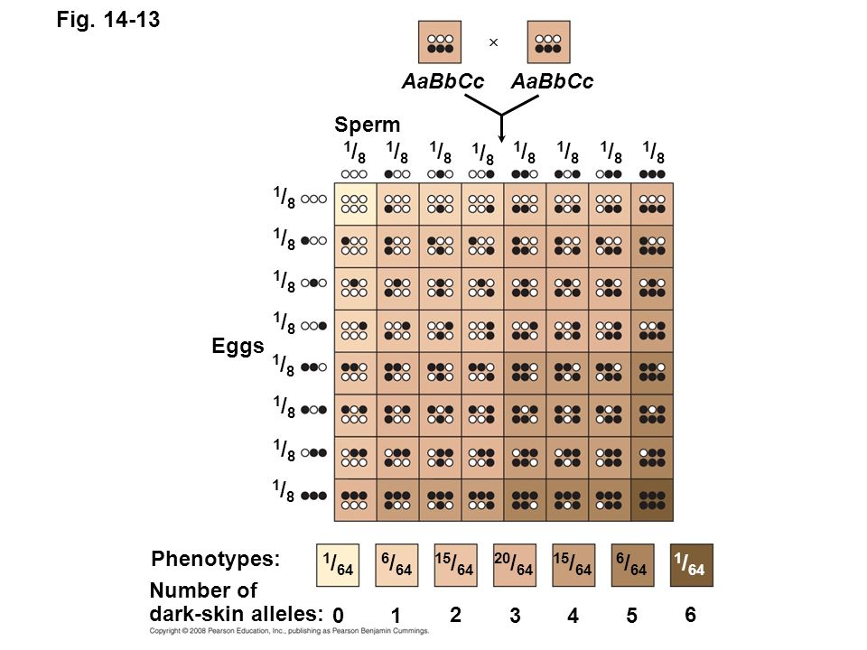 Fig. 14-13 Eggs Sperm Phenotypes: Number of dark-skin alleles: 0 1 2 345 6 1 / 64 6 / 64 15 / 64 20 / 64 15 / 64 6 / 64 1 / 64 1/81/8 1/81/8 1/81/8 1/