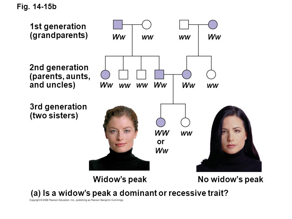 Fig. 14-15b 1st generation (grandparents) 2nd generation (parents, aunts, and uncles) 3rd generation (two sisters) Widows peakNo widows peak (a) Is a