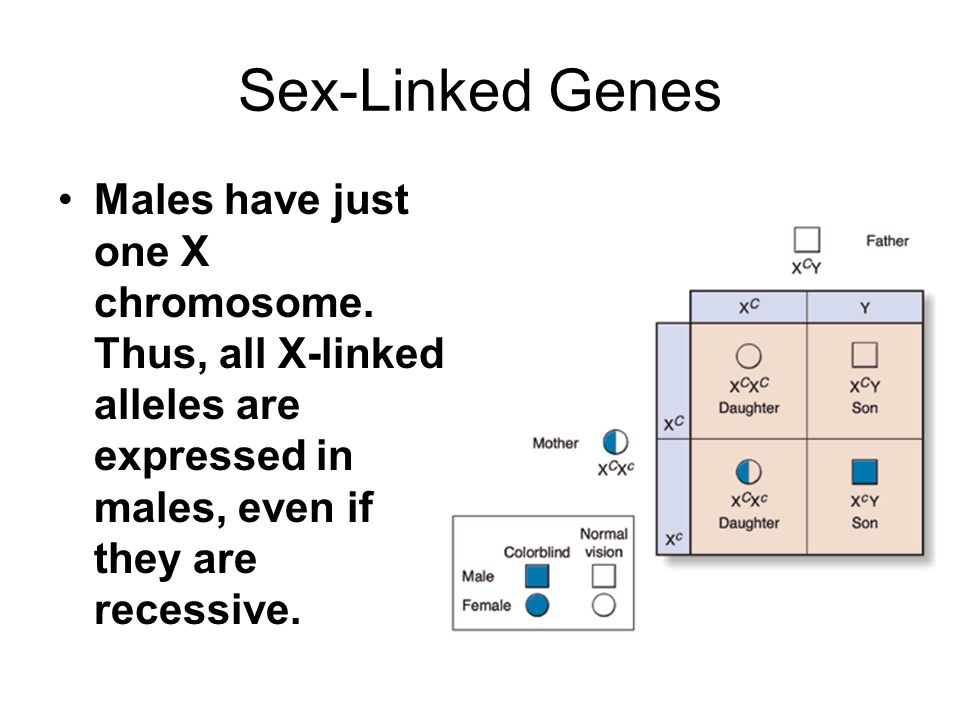 Sex-Linked Genes Males have just one X chromosome. Thus, all X-linked alleles are expressed in males, even if they are recessive.