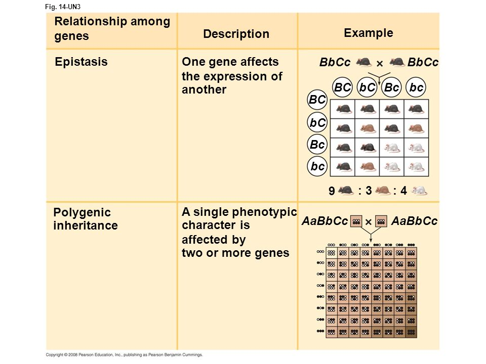 Fig. 14-UN3 Description Relationship among genes EpistasisOne gene affects the expression of another Example Polygenic inheritance A single phenotypic