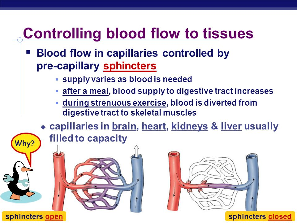 AP Biology Capillaries: Built for exchange Capillaries very thin walls lack 2 outer wall layers only endothelium enhances exchange across capillary di