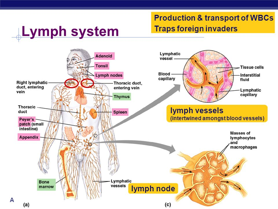AP Biology Lymphatic system Parallel circulatory system transports white blood cells defending against infection collects interstitial fluid & returns