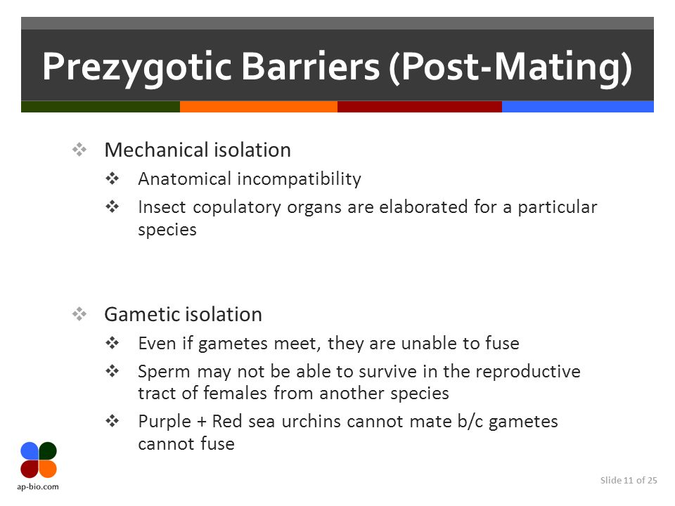 Slide 11 of 25 Prezygotic Barriers (Post-Mating) Mechanical isolation Anatomical incompatibility Insect copulatory organs are elaborated for a particular species Gametic isolation Even if gametes meet, they are unable to fuse Sperm may not be able to survive in the reproductive tract of females from another species Purple + Red sea urchins cannot mate b/c gametes cannot fuse